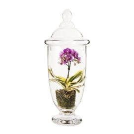 Phalaenopsis in Medium Orchid Glass Terrarium