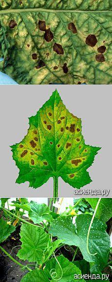 Бурая пятнистость листьев огурца - бурая пятнистость листьев огурца, бурая пятнистость, оливковая пятнистость, кладоспориоз