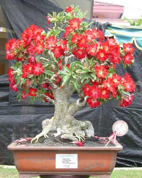 Rosa del Desierto bonsai