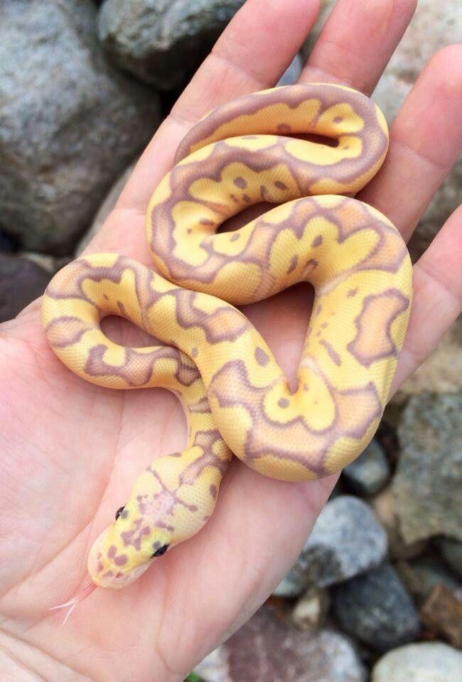 cool looking pastel banana clown ball python reptiles