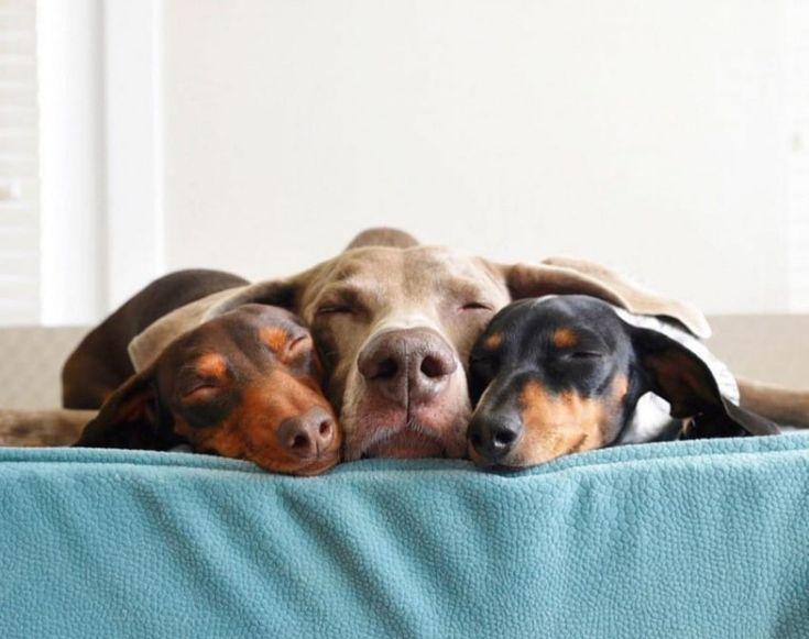 Le coeur gros, ce grand chien est allongé dans le coin. Rien ne semble le consoler jusqu'à ce que ces 2 demi-portions entrent dans sa vie.
