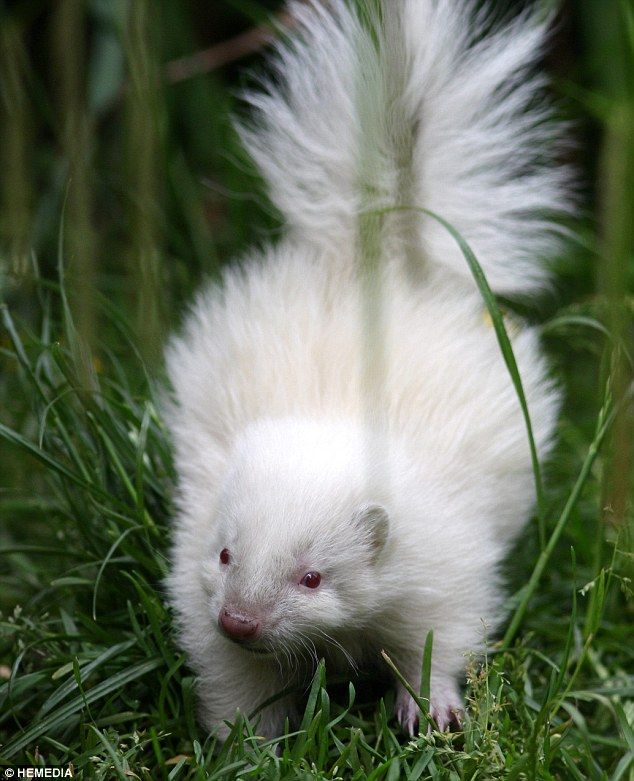 He's all-white: Tiny rare albino skunk becomes unlikely star of the show at zoo The tiny creature born three weeks ago at Five Sisters Zoo in West Lothian Animal would have died in wild as skunks rely on distinctive colouring By AMANDA WILLIAMS