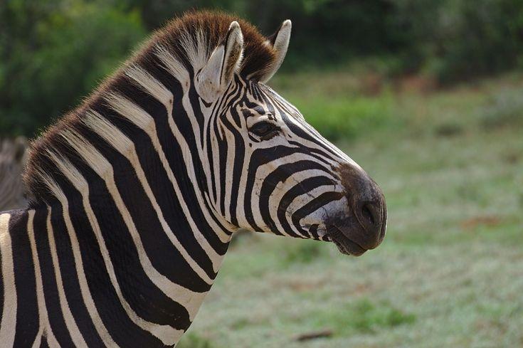 Free Image on Pixabay - Zebra, Young, Animal, Addo ...