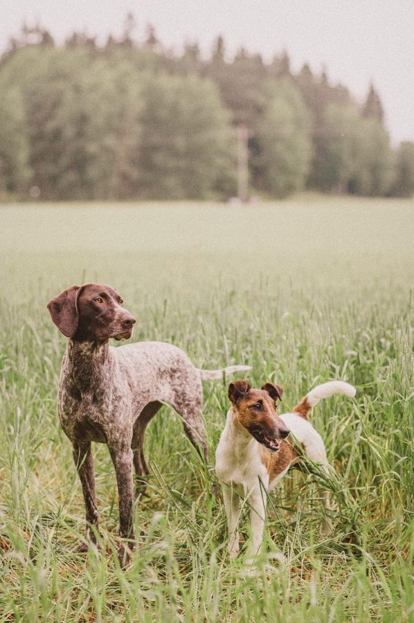 German Shorthair and Fox Terrier.  By Nani Annette.
