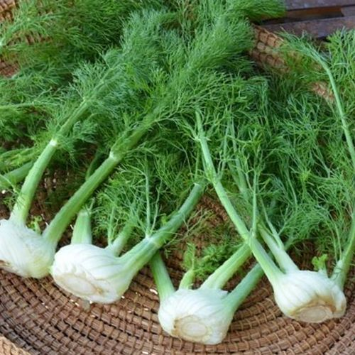 #Florence_Fennel_Health_Benefits :  Foeniculum vulgare dulce  #Fennel is one of the main herbs used in preparation of an #alcohol_drink absinthe which is very popular in #Switzerland, France and other countries. These plants are rich in #fibers, #vitamins, #calcium, #magnesium and #manganese. This vegetable is very rich in #carbohydrate. See More @ https://goo.gl/WY1nOP  #veggies #veggiesfacts #healthtips #nutritionvalue