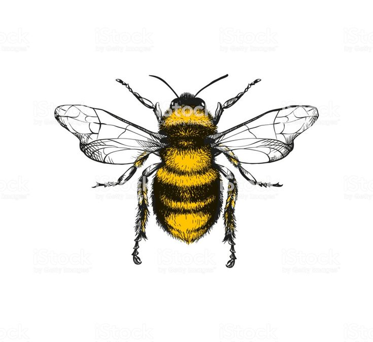 Engraving Illustration Of Honey Bee Stock Illustration – Download Image Now