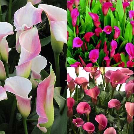 calaGardens Ideas, Gardens Products, Flower Bulbs, Fabulous Calla, Flower Beds, Fall Flower, Gardens Aspire, Future Gardens, Darma Gardens