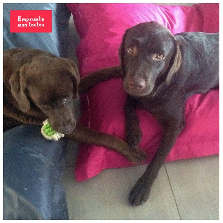 Nos deux belles labradors chocolat n'attendent que vous sur Marseille pour aller jouer au parc ! Elles vous attendent sur Emprunte Mon Toutou !