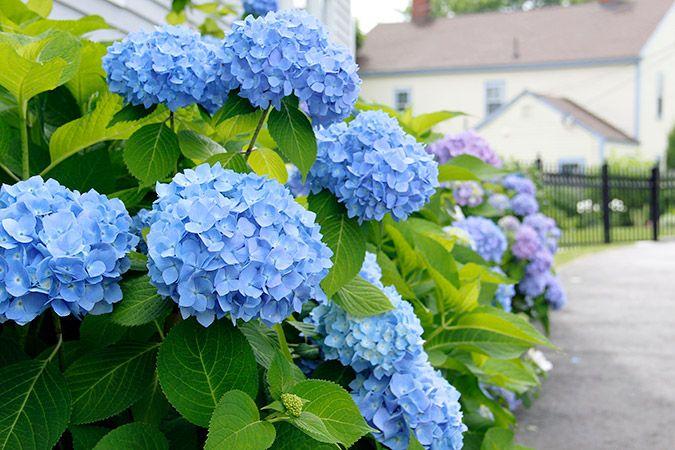 Hydrangea care hydrangea and gardens - Caring hydrangea garden ...