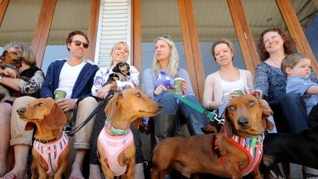 Puppaccino anyone? :) East Brisbane's Paw Paw Cafe to host Brisbane Dachshund/Dachshund Rescue Australia fundraiser.
