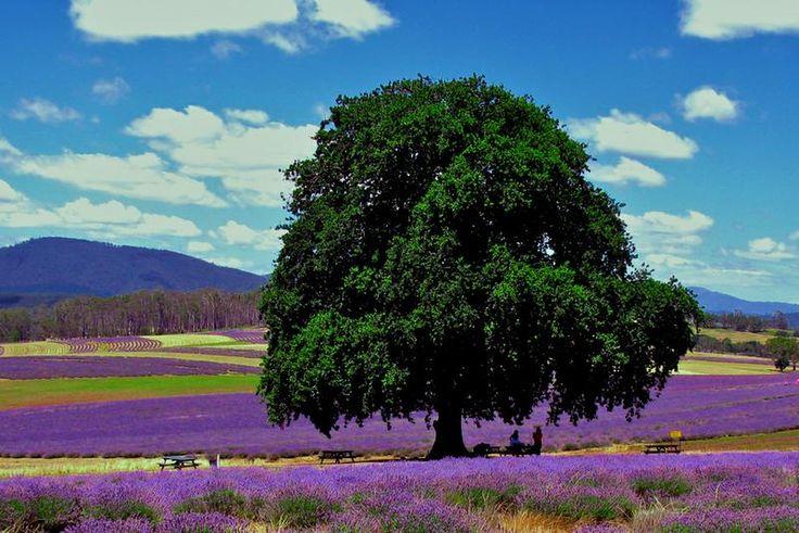 TripBucket - Visit Bridestowe Lavender Estate, Tasmania, Austrialia