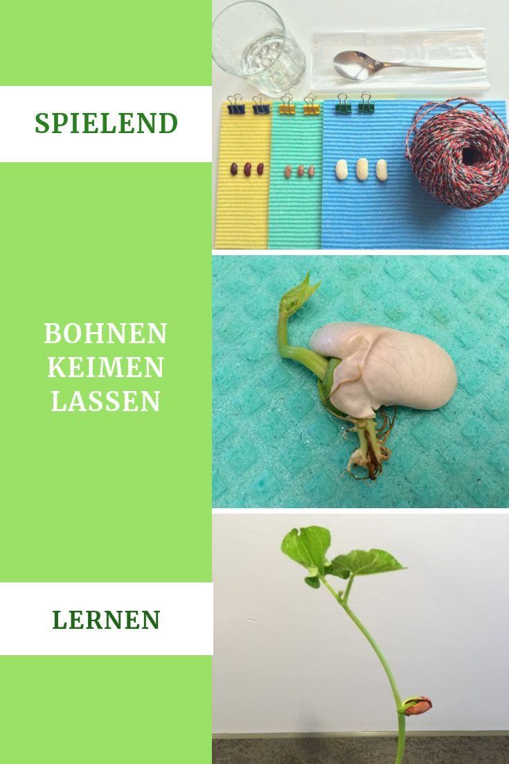 Bohnen keimen lassen   lehrreiches & tolles Natur Experiment für ...
