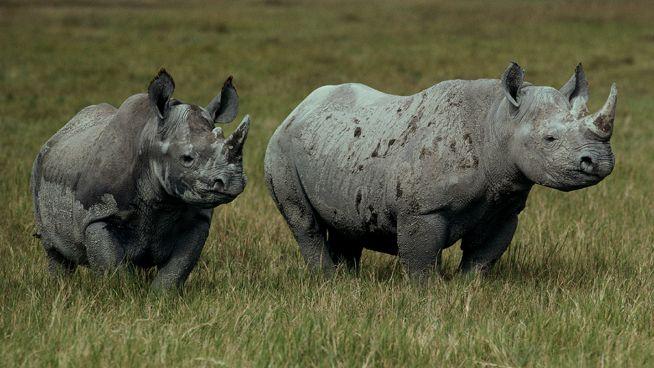 Su nombre proviene del griego, de la combinación de las palabras 'rhino' (nariz) y 'kera' (cuerno), que significa 'nariz cornuda'. Legan a vivir 60 años. Las especies africanas tienen dos cuernos sobre su nariz, mientras que el indio tiene solo uno. Los rinocerontes tienen un agudo sentido del olfato y un oído muy sensible,