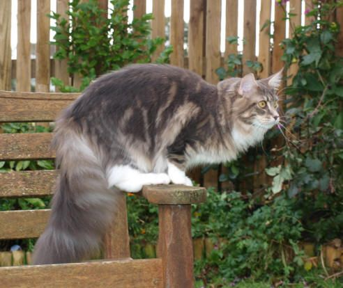 #MaineCoon #Blue #Tabby #Blotched #White #Cats Celticoon Kyanite Kiss