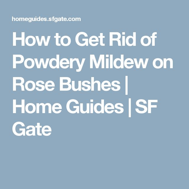 how to get rid of powdery mildew on rose bushes make your own spray by. Black Bedroom Furniture Sets. Home Design Ideas