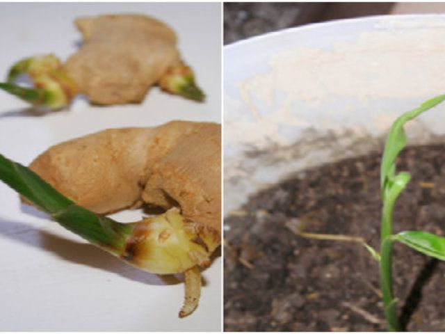 Gyömbér termesztése otthon - 3 egyszerű lépésben +fotók +tapasztalatok