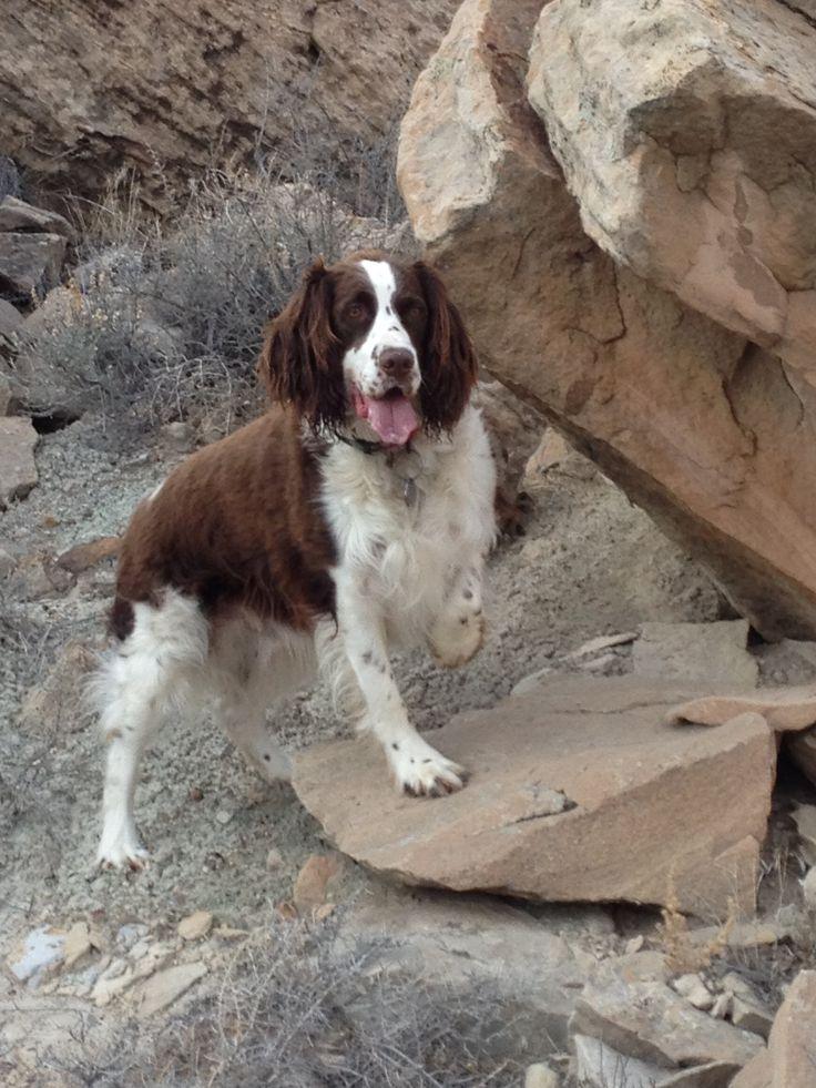 Walter exploring Colorado outdoors Springer spaniel