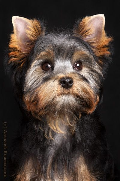Yorkie.--what a great photo and such a perfect  looking little dog