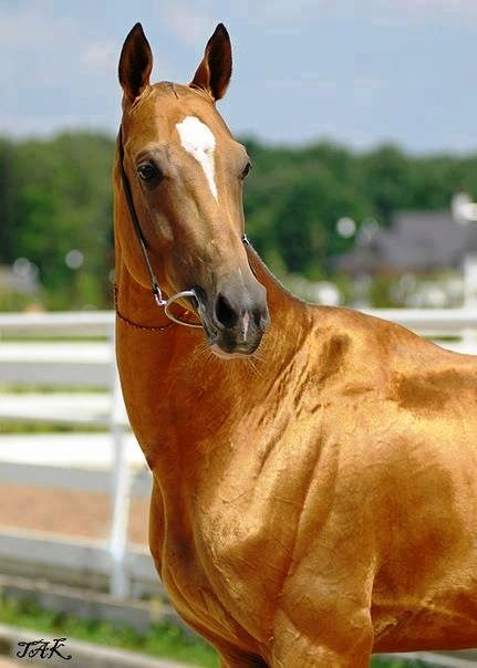 Akhal-teke. The metallic sheen is caused by the unusual structure of the hairs, which act as an optic fibre reflecting the light.