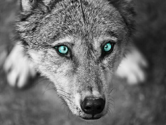 17 Best images about my eye colors on Pinterest | Wolves ...