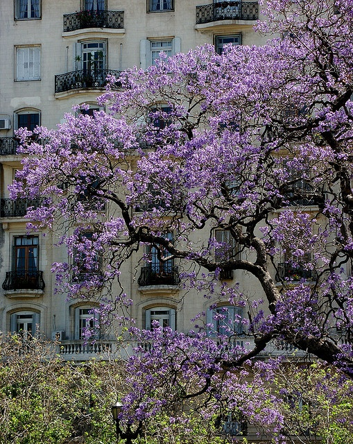 Jacaranda en flor, Buenos Aires  I remember these beautiful trees! .. what beautiful .. delicate (& purple too!) eztrvlr