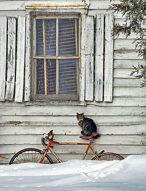 Grey cat on red bicycle in white snow against white house