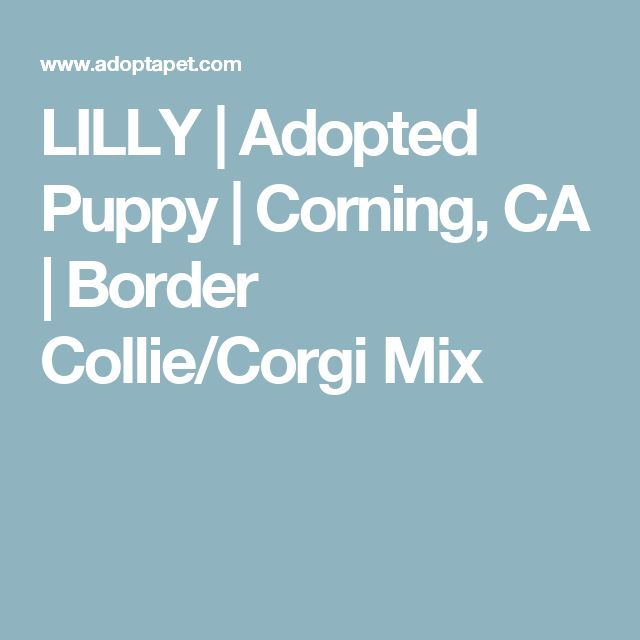 LILLY | Adopted Puppy | Corning, CA | Border Collie/Corgi Mix