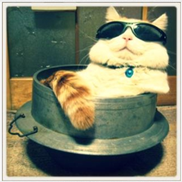 ♪: Like A Boss, Cool Cat, Funny Animal Pictures, Funny Cat, Fat Cat, Sleep Baby, Crazy Cat Lady, Cat Care, Baby Cat
