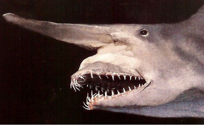 Frilled Shark |Ugly Shark Japan
