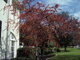 Ilex decidua (Possumhaw holly) - north Texas small tree, good winter look