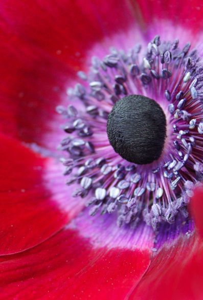 Poppy macro - ©/cc shira gal (miss pupik) www.flickr.com/photos/miss_pupik/2290488257/in/photostream/