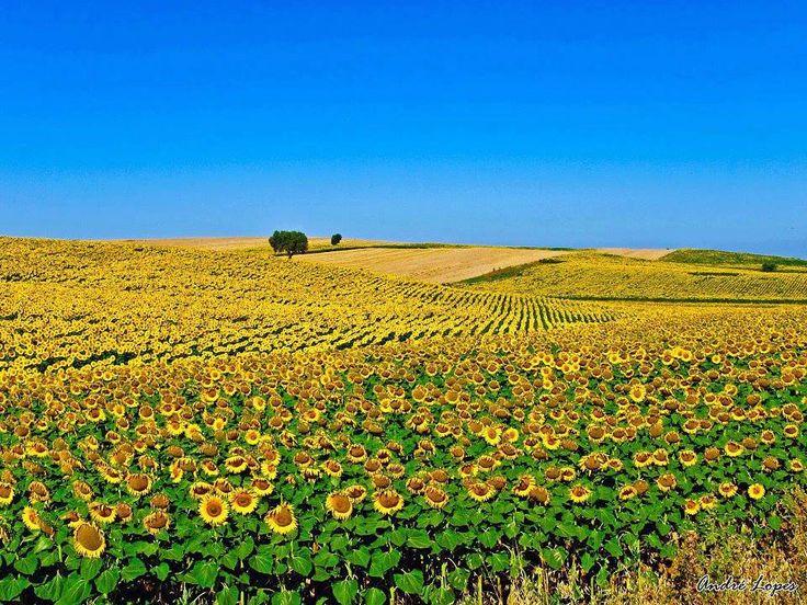 Sunflower Field, Alentejo, Portugal