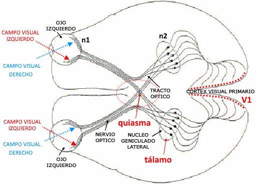 Los sistemas receptores 10: La visión II. Procesos intermedios.  | El Cedazo  Corte esquemático del cerebro, visto desde abajo, en donde se aprecian los dos canales del campo visual en ambos ojos. Divergen justo en el punto conocido como quiasma óptico en donde se emparejan los del mismo hemicampo visual dirigiéndose con posterioridad al hemisferio cerebral contralateral (Imagen a partir de la red, fair use)