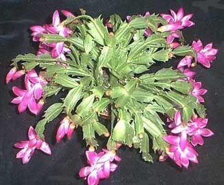 Amor cactus