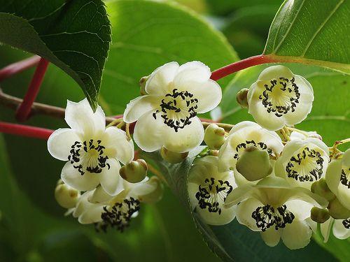 Actinidia arguta サルナシ | サルナシ-1301-1920 | ashitaka | Flickr