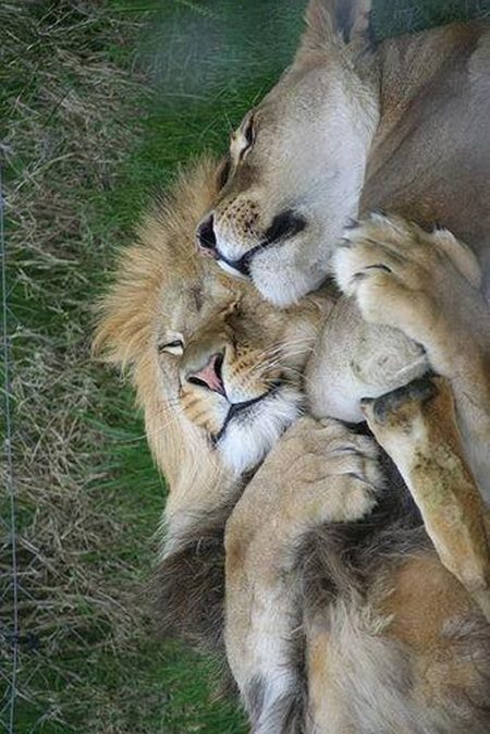 "A Lion Couple:  ""Life is so beautiful, when you have the right partner to share it with..."""
