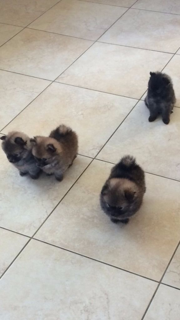 Pomeranian Pups                                                                                                                                                                                 More