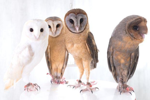 Wizard Albino Barn Owl Wizard Albino Barn Owl Pet Owl
