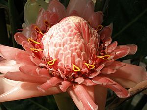 Torch Ginger (etlingera elatior): Etlingera elatior (also known as torch ginger, ginger flower, red ginger lily, torch lily, wild ginger, combrang, bunga kantan, Philippine wax flower, xiang bao jiaing, Indonesian tall ginger, boca de dragón, rose de porcelaine, and porcelain rose) is a species of herbaceous perennial plant. Botanical synonyms include Nicolaia elatior, Phaeomeria magnifica, Nicolaia speciosa, Phaeomeria speciosa, Alpinia elatior, and Alpinia magnifica.  The showy pink…