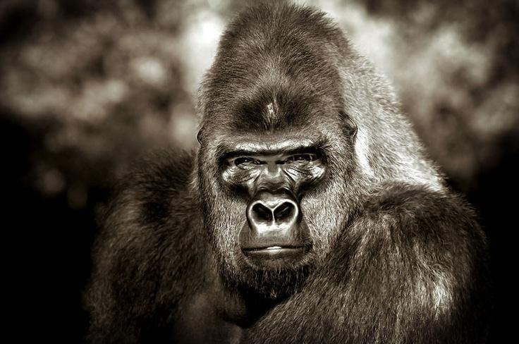 Gorilla - Sébastien Meys