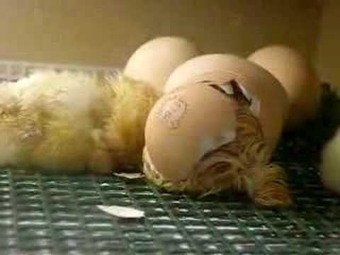 Kuikentjes worden geboren
