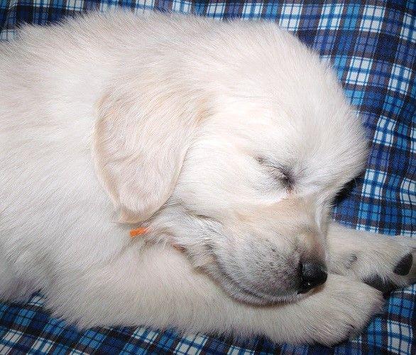 English Golden Retriever puppy goldenretrieverstreet.weebly.com