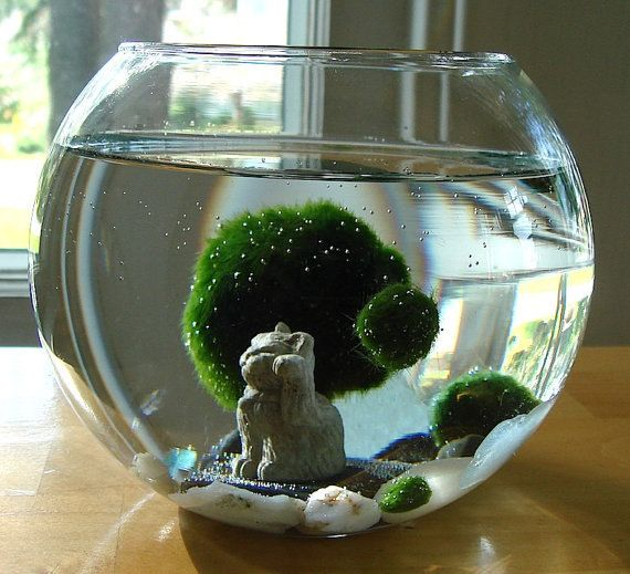 Lucky Cat Marimo Moss Balls Maneki Neko Nano Aquarium by TyberKatz