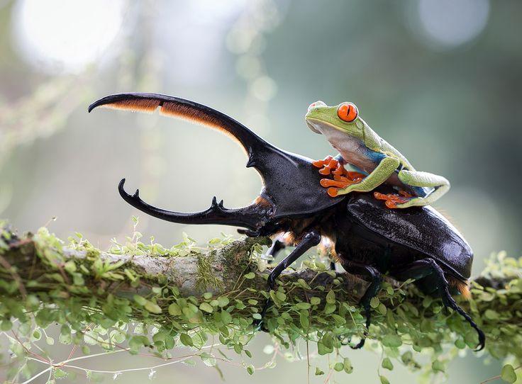 Une grenouille verte à cheval sur un scarabée rhinocéros
