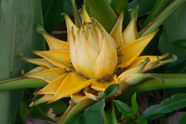 Musella lasiocarpa (golden lotus banana) in the garden at the office of Fusion Landscape Design. www.fusionlandscapedesign.co.nz