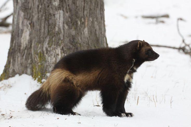 Wolverine Animal | wolverine, animal, predator, wild, wolverine