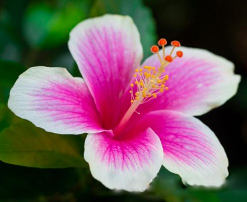 White And Pink Hibiscus Flower | www.pixshark.com - Images ...