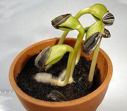 Vypěstování vlastní sadby okrasných květin nebo zeleniny ze semen je určitě přínosné z hlediska úspory a taky možnosti širšího výb