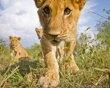 BeetleCam captures daily life of lions  Masai Mara, Kenya