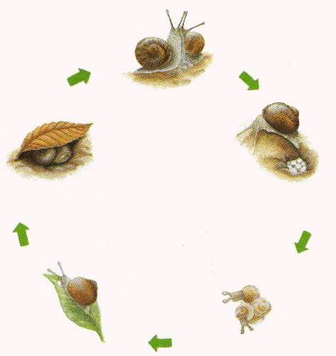Lebenszyklus Schnecke